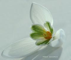 Le cœur du Perce-neige (Hélène Quintaine) Tags: orange fleur lumière hiver jardin vert neige iledefrance blanc pétale cœur février perceneige étamine