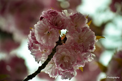 Cherry Blossom season - Springtime! (BAR Photography) Tags: streetphotography photoaday cherryblossom cherryblossoms cherryblossomseason pictureoftheday springflowers flowerpower pictureaday photooftheday naturephotography roadphotography pinkflowers cherryblossomtree cherryblossomtrees bigflower prettyflowers flowergardens washingtondccherryblossoms flowerbuds summerflowers dcphotos abstractphotos flowerphotos peoplephotography streetflowers noflashphotography drivingphotos summerphotography barphotography cityphotos skyphotos flowerphotography buddingflowers nationalcherryblossomfestival outsideflowers skyphotography dayphoto japanesecherryblossoms cherrytreewalk outsidephotography bunchesofflowers pinkcherryblossoms washingtondcnationalcherryblossomfestival dcflowers randomstreetphotography cherryblossomflowers dcphotography cherryblossomflower nationalcherryblossomsfestival cloudphotos picturesoftheday nationalcherryblossoms buddingcherryblossoms cherryblossomwalk washingtondcphotography springtimephotography aprilcherryblossoms washingtonspringflowers perceptionphotos flowerpowerindc emptinessphotos cherryblossompower dcfotocherryblossomscontest cherryblossomspower festivalofcherryblossoms cherryblossomsinthecity