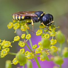 Crabonide (Ectemnius sp.) Square-headed Wasp (Sinkha63) Tags: summer france macro nature die wasp wildlife vercors fra insecte faune hymenoptera rhnealpes apocrita wildparsnip pastinacasativa panais crabronidae hymnoptres ectemnius crabroninae squareheadedwasp apocrites crabron crabronids rememberthatmomentlevel1 rememberthatmomentlevel2 crabonide