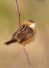 Buitron - Cisticola Juncidis (Salvador Moreira) Tags: ed nikon galicia dos digiscoping birdwatching cisticolajuncidis cisticola d90 zitting buitron skywatcher xuncos carriza sw80