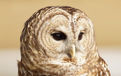 Barred Owl (jimehle58) Tags:
