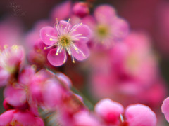 litten to her (Marie Eve K.A. (Away)) Tags: pink flower nature closeup spring kyoto dof bokeh f14 85mm olympuspen plumtree planar ep2 plumblossoms carlzeiss