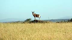 posing... (annpar) Tags: kenya safari masaimara