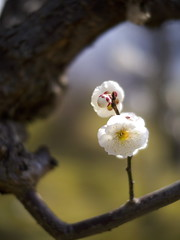 (myu-myu) Tags: flower nature japan panasonic   prunusmume saariysqualitypictures nokton25mmf095 dmcg3