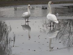 Swans A Winter's Day...No sun...All is Quiet... (eriagn) Tags: trees winter white mist snow black reflection leaves silhouette digital canon landscape grey frozen swan silent bare freezing overcast mirrored ghostly chill whiteswan specanimal eriagn ngairelawson birdsarebestbutnatureisfabtoo
