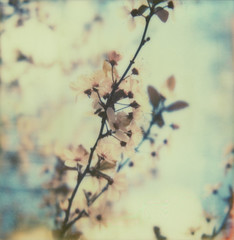 (jeffreywithtwof's) Tags: film jeff analog sx70 spring integral instant cherryblossoms hutton colorshade jeffhutton px70 theimpossibleproject jeffhuttonphotography jeffreyhutton