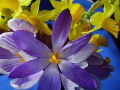 Mar 2012 476 Crocus and narcissi (monica_meeneghan) Tags: stilllife flower nature windsong mamasbloomers naturescarousel monicameeneghan frogpondflorals thesunshinegroup sunrays5
