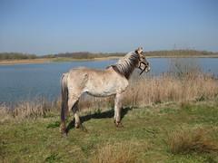 Ruby (Biffa Award) Tags: naturereserve grants funding konikhorses derbyshirewildlifetrust biffaward