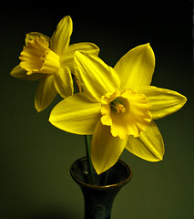 2 Daffodils in a Vase _1536 (photoholic1) Tags: flowers flower yellow massachusetts daffodil vase bouquet daffodils danvers excellence
