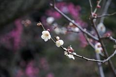 Koishikawa Korakuen Gardens (Ricardobtg) Tags: park lens tokyo nikon d blossoms plum 16 dslr ume 85 90  hanami  korakuen  koishikawa  d90  1685 1685vr