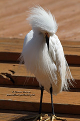 Snowy Egret (Egretta thula) (Sharon's Bird Photos) Tags: nature orlando florida wildlife birding snowyegret gatorland egrettathula explored birdrookery exploredapril62012