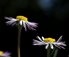 daisys (R.Duran) Tags: flower macro closeup nikon flor daisy margarita d300 ltytr1 nikon105mmf28gvrmacro