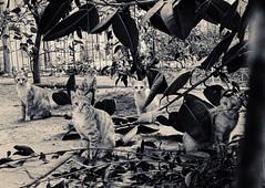 Lion kids. (ADIDA FALLEN ANGEL) Tags: street cats cute animals fur israel telaviv puppies nikon pussy kittens d40 prrrrr