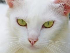 (angelmardi) Tags: gato olhares gatobranco angelamardi panasonicfz70