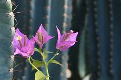 Bougainvillea (bazylek100) Tags: flowers nature garden botanical poland polska natura bougainvillea botanic blooms kraków cracow hortus botanicus cereus ogród botaniczny ogródbotaniczny bugenwilla