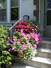 Pink color scheme containers, close-up (ethelred30) Tags: foliage container coleus alyssum annuals fullsun snowprincess