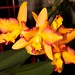 Lc. Horizon Flight 'Happy Landing' x C. aurantiaca 'Gold Country' – Sandi Sandquist