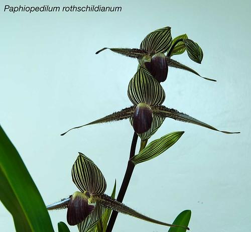 Paphiopedilum rothschildianum