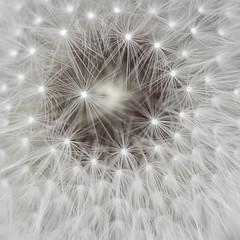 Dandelion v3 (Funchye) Tags: nikon dandelion seeds 105mm d610 dandelionseeds
