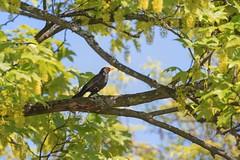 Merle noir  (chogori20) Tags: bird nature animal blackbird merle oiseau