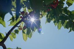 Playing hide and seek with the sun.. (giovyskia) Tags: sky sun reflection tree nature cherry cherries bluesky flare naturephotography
