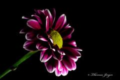 In the Dark 1101 Copyrighted (Tjerger) Tags: red portrait white plant black flower macro green fall nature yellow closeup blackbackground wisconsin petals flora mum bloom crysanthimum