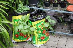 Kartoffeln Mai 2016 (blumenbiene) Tags: plant garden bag im pflanze harvest potato crop sack planter garten potatos kartoffeln kartoffel erde tragbar plastiksack kartoffelpflanze kunststoffsack pflanzensack foliesack
