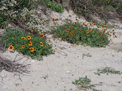 Firewheel flowers on the dunes (amir85) Tags: texas firewheel gaillardiapulchella padreislandnationalseashore indianblanketflower