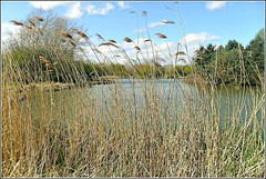 Tall Water Reeds .. (** Janets Photos **) Tags: uk lakes wetlands hull naturereserves bransholme