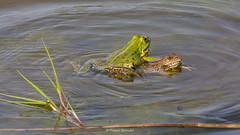2016-05-06 - 16.09.42 - _L5B3381 - 2 (Rossell' Art) Tags: pad frog toad sapo rana frosch grenouille kikker rano bufo r krte crapaud  rospo doodebemde batracien