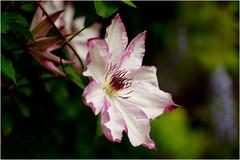 clematis .......... (atsjebosma) Tags: macro garden bokeh ngc clematis may thenetherlands mei tuin groningen bloem 2016 atsjebosma