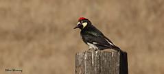 Acorn Woodpecker  0037 (Ethan.Winning) Tags: creek woodpecker open space walnut acorn hs sx50
