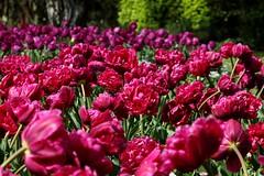 Burgundy Tulips #4