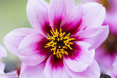 _DSC9204.jpg (Riccardo Q.) Tags: macro fiori fiore altreparolechiave floreka
