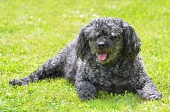 Sunbathing poodle (FailureCriteria) Tags: dog sun nature animal nikon relaxing poodle gras sunbathing
