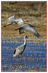 Sandhill Cranes (biggaron) Tags: nm bosquedelapache sandhillcranes gruscanadensis festivalofthecranes socorroco 20141121eos7dimg3370