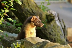 pine marten kit.................explored. (Suzie Noble) Tags: wall garden birdtable pinemarten stonedyke strathglass struy pinemartenkit peanutbutterpieces