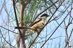 "棕背伯勞  ""Long-tailed Shrike""  ""Lanius schach"" (掌櫃) Tags: laniusschach longtailedshrike 福寶濕地 棕背伯勞 taiwanpark nikond7000 nikon55300mm 掌櫃嫂"