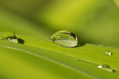 Tautropfen1 (Andreas Hlzl) Tags: wasser gras tropfen morgentau