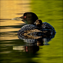 One day old baby loon (NaPix -- (Time out)) Tags: sunset orange baby lake black green bird nature water mother loon immer gavia coloursred