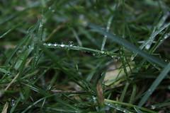 After the Rain 4/9 (emilyholmberg1) Tags: summer plant flower water rain closeup leaf raindrop afterrain