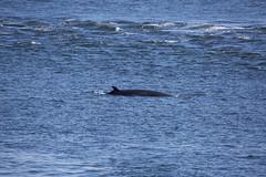 Whale (15 von 19) (karstenniehues) Tags: sea canada st whale lorenz wal whalewatching tadoussac kanada sugetier blauwal finnwal minkwal