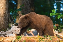 Brown bear 2 - Slovenia (Sinar84 - www.captures.ch) Tags: 2016 animal bear black blue brown brownbear cliff europa juni karst kocevska notranjska notranjskaregionalpark orange red rock slovenia slovenianbearscom summer trees white
