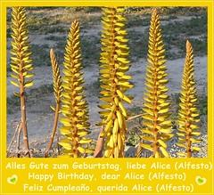 Geburtstagskarte fr Alice (Alfesto) * Birthday card for Alice (Alfesto) * Tarjeta de cumpleaos por Alice (Alfesto) * Aleo Vera (Blten/Blossoms/Flor) *  Explored 22.06.2016     .       P1290114-002.1 (maya.walti HK) Tags: birthday flowers espaa plants flores yellow spain plantas flickr blossoms pflanzen blumen geburtstag explore amarillo gelb congratulations birthdaycards birthdaycard spanien cumpleao aloevera blten glckwnsche geburtstagskarte 2016 felicidades glckwunschkarte 200616 geburtstagskarten glckwunschkarten bltengelb provinciademurcia panasoniclumixfz200 copyrightbymayawaltihk provinzmurcia murciaprovinz geburtstagalice2016 explored22062016