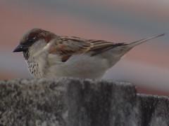 DSC04719 Pardal (familiapratta) Tags: bird nature birds brasil iso100 sony natureza pssaro aves pssaros novaodessa novaodessasp hx100v dschx100v