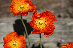 Ornage 13.5 (KeLens) Tags: flowers red orange flower yellow canon bokeh blossoms 85mm 7d poppy bloom pollen blooms pistals