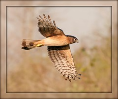 Harrier Fly-By (billkominsky ) Tags: green nature birds inflight hawk wildlife wetlands prey cay harrier naturesfinest supershot spectacularanimals avianexcellence colorsoftheheart damniwishidhavetakenthat birdperfect thesunshinegroup sunrays5