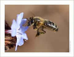 Abeille mllifre / Apis mlifera (Orpinbleu) Tags: macro nature canon garden daylight flickr photos corse lumire corsica jardin profil lumen macrophotography lumirenaturelle photogallery mfcc corsedusud macrophotographie abeilleenvol abeillemellifre apismlifera orpinbleu
