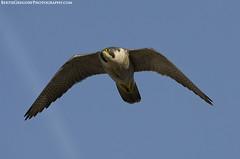 Peregrine falcon in flight (Bertie Gregory) Tags: uk blue sky urban bird closeup buildings bristol flying nikon wildlife flight sunny falcon british prey gregory bertie peregrine falcoperegrinus d7000