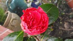 Camellia (Nasaw views) Tags: crimson spring camellia redflower crimsoncamellia